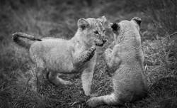 Trai Anfield lion cubs playing b&w-6220.
