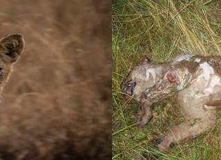 Mara Lion Masacre