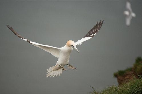 The Aviary #2 Gannet landing