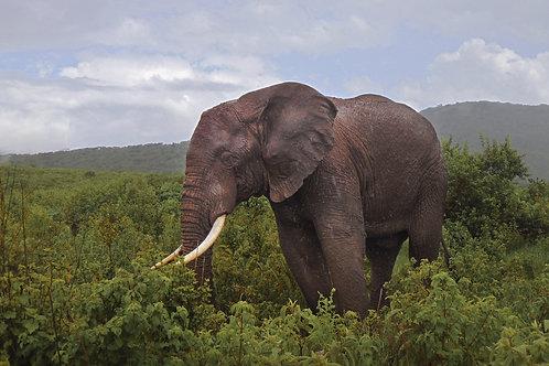 Hai-Lang Duong elephant close own image 8x12