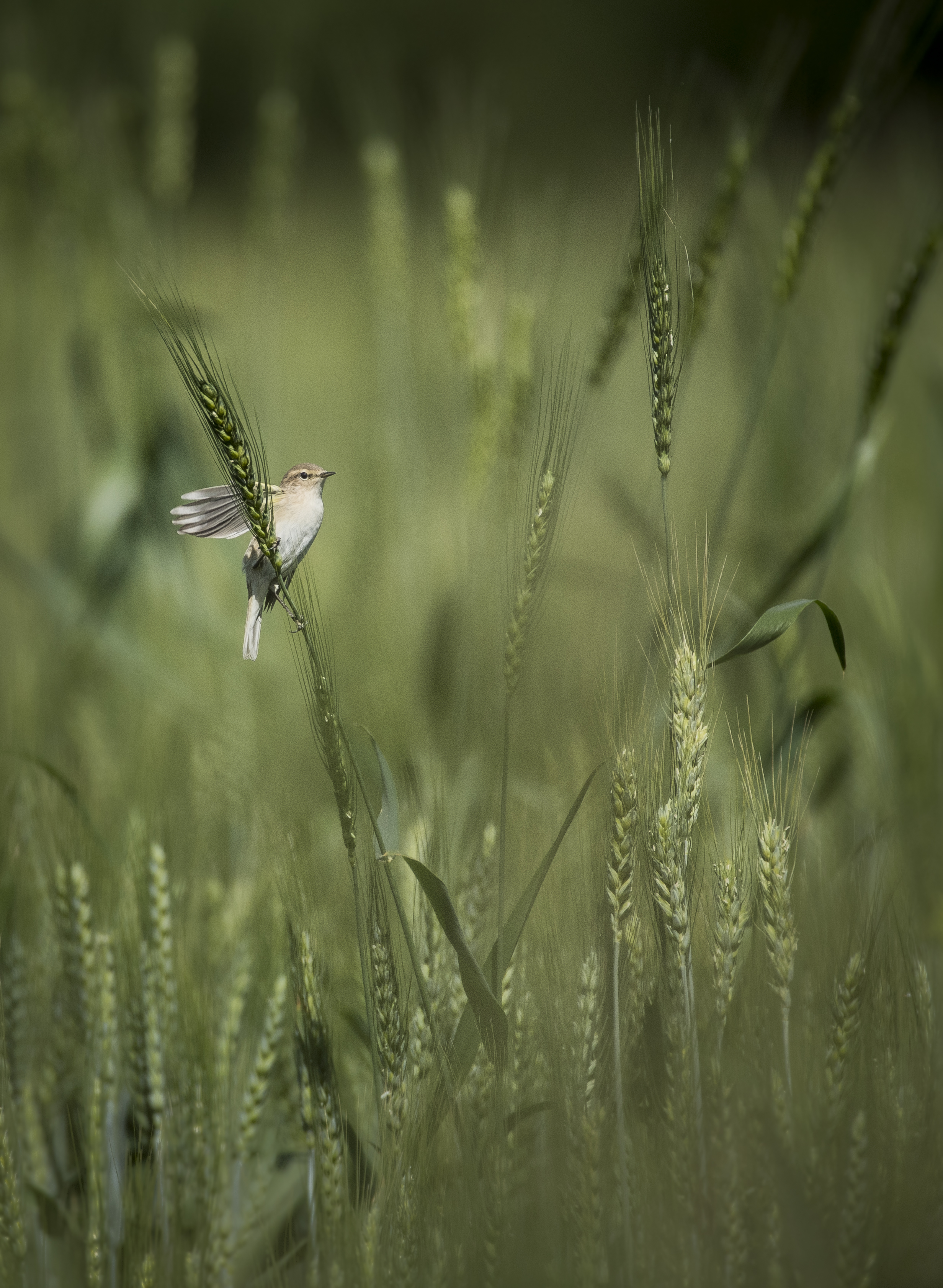 bird in crops Birra-4556.jpg