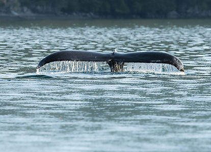 humpback whale tail Seward-0420_WEB.jpg