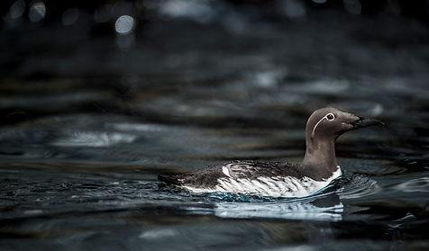 Farne Islands guillemot