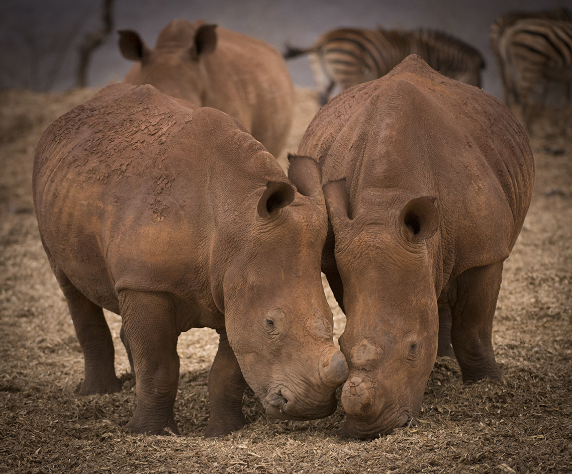 Zimanga rhino de-horned edit-1978_WEB.jpg