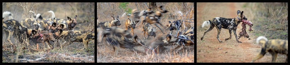 Peter Haygarth wild dogs composite.jpg