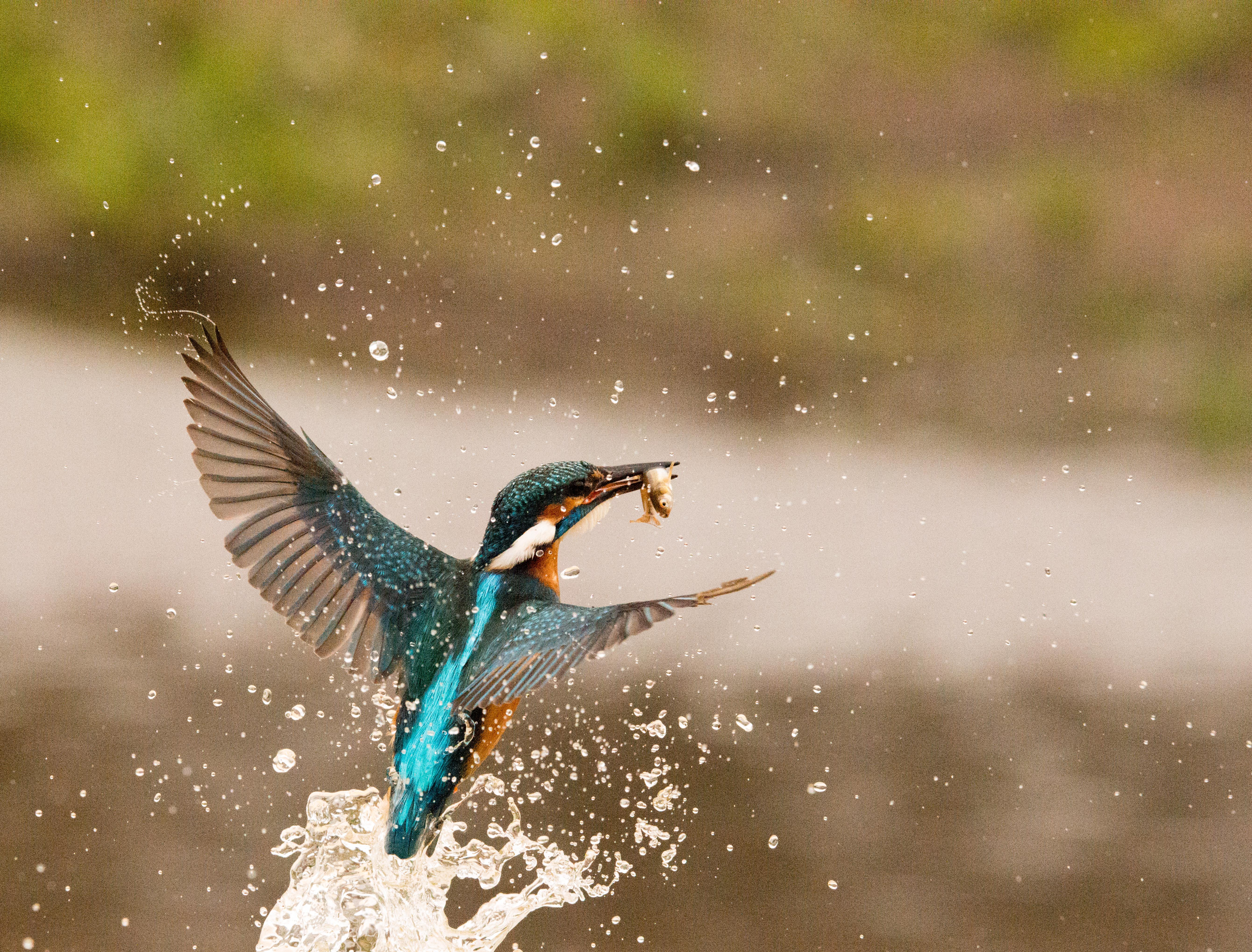 Kingfisher rising from water-6362.jpg