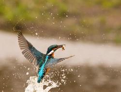 Kingfisher rising from water-6362.jpg