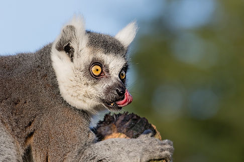 ring-tailed-lemur-1154201_1920.jpg