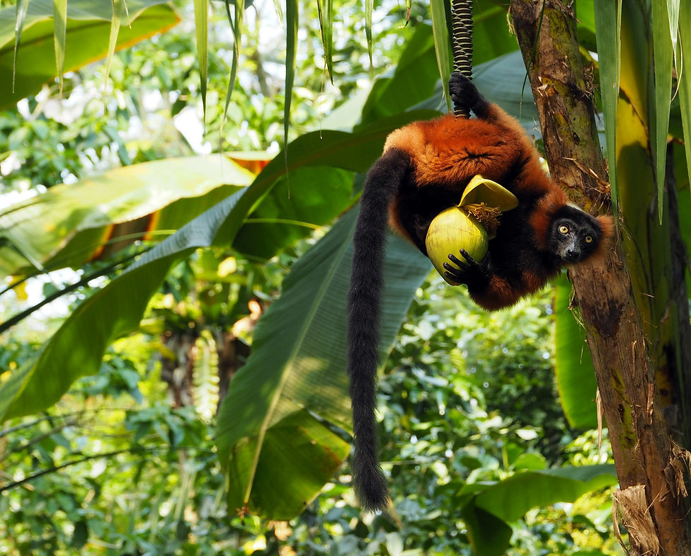 Madagascar Wildlife Photography Safari red ruffed lemur