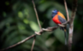 Trai Anfield Photography Safaris trogon_
