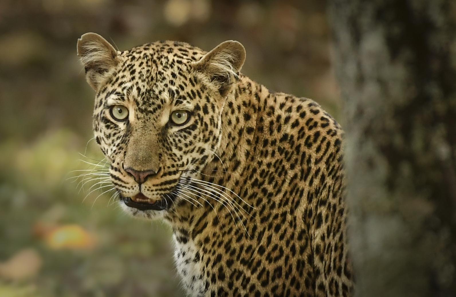 Nkorombo leopard -1139-3_WEB.jpg