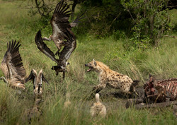 Trai Anfield hyena chasing vultures off