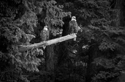 US bald eagles b&w-3111.jpg