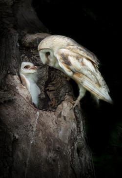 Barn owl & baby Andy Howey-3286 v2.jpg