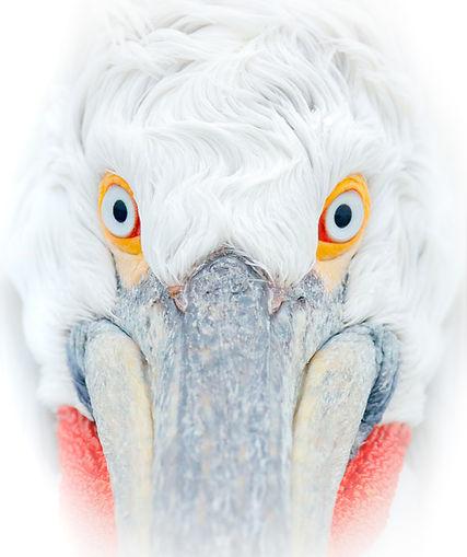 Greece pelican close.JPG