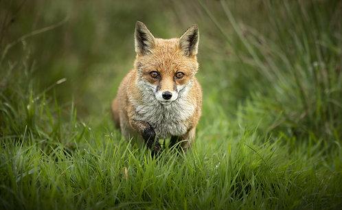Best of British -Fox