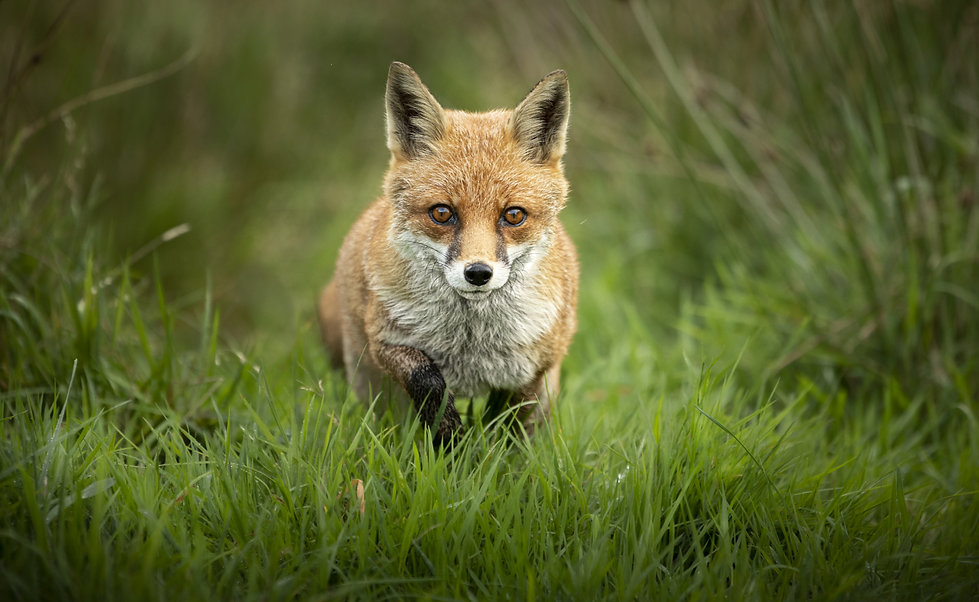 British Wildlife Photography Workshop Trai Anfield Photography fox leaping_