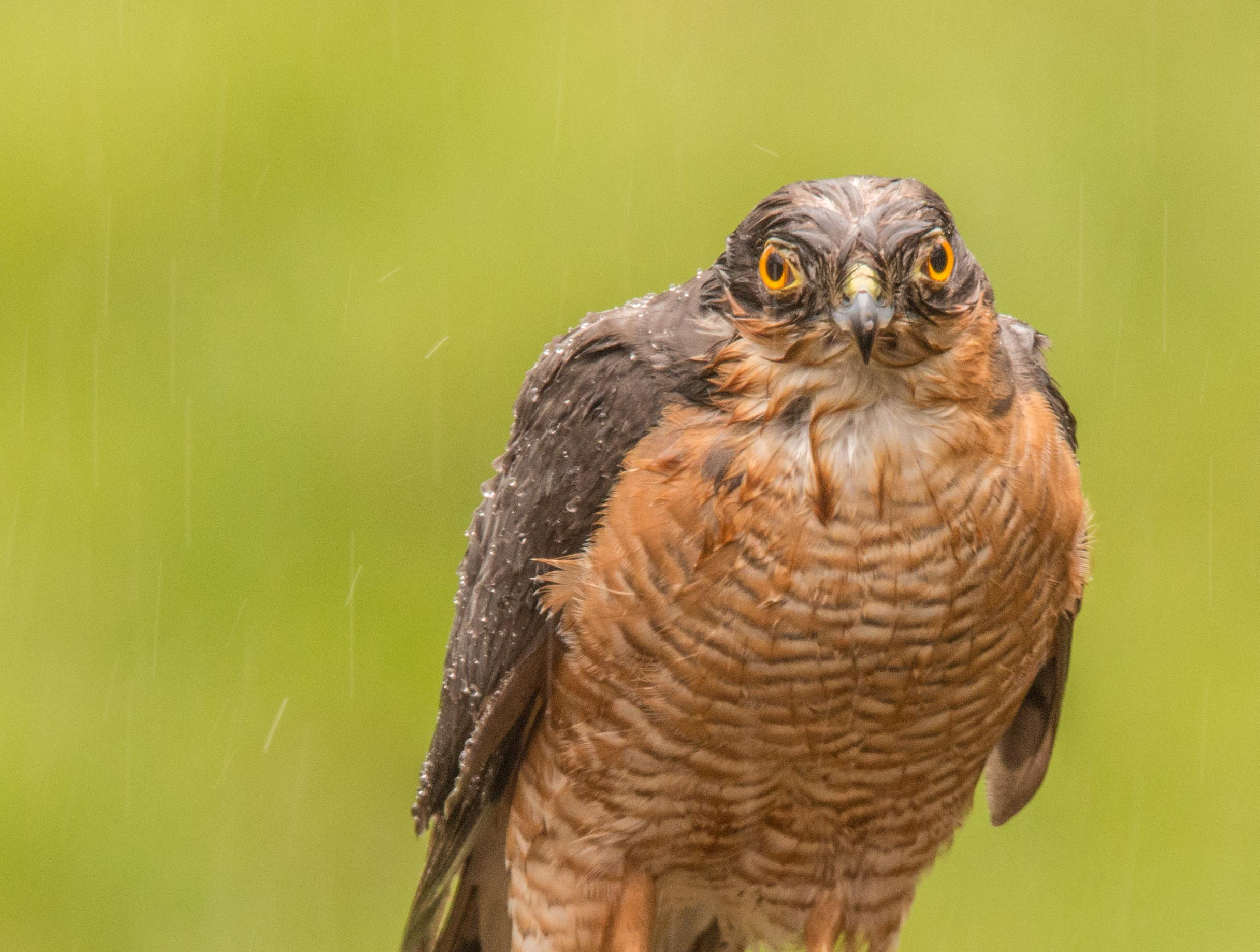 Sparrow Hawk - wet and fed up!-5781.jpg