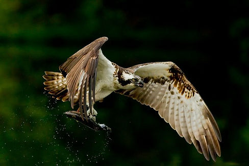aviemore ospreys STOCK.jpg