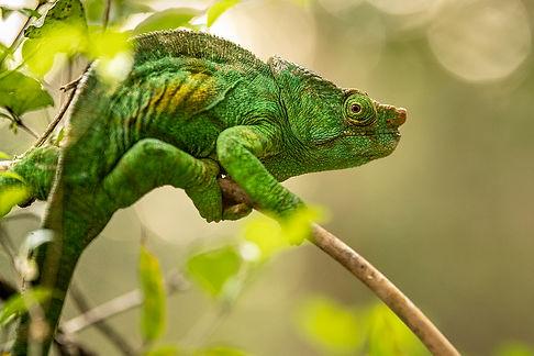 chameleon Madagascar-3749.jpg