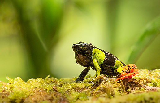 tree frog Madagascar-1472.jpg