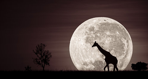 Giraffe Moonrise