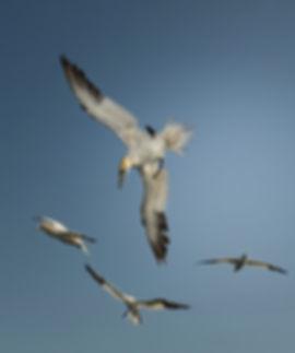 gannets Farnes-9210_WEB.jpg