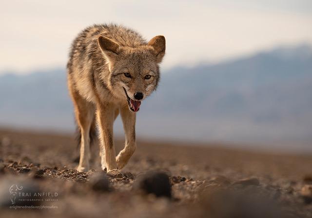 Coyote Death Valley-6285_WEB_WM