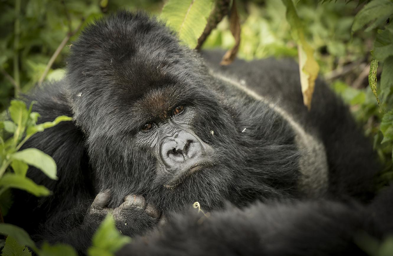 Rwanda 2016 gorilla_WEB-4479.jpg