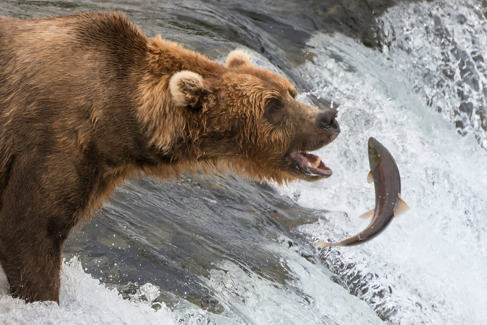 grizzly with salmon close brooks--2.jpg