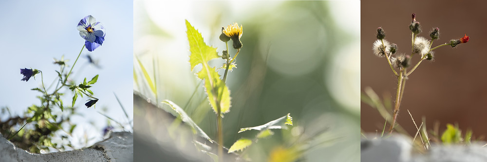 Trai Anfield Photography Safaris | Rewilding | Conservation | viola | sow thistle | fox-and-cubs