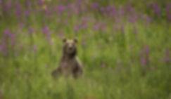 bear Katmai-0917_WEB.jpg