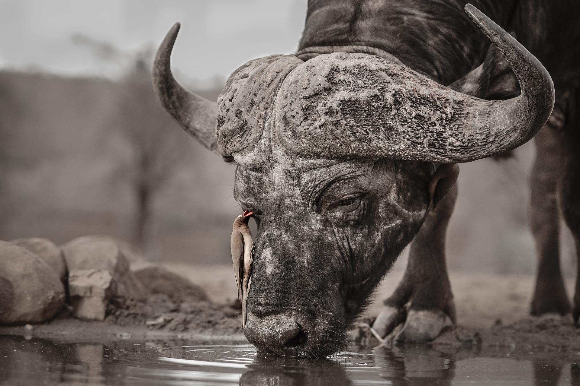 WPOTY behaviour buffalo & oxpecker_DSC2476.jpg
