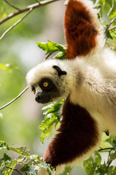 Madagascar Wildlife Photography Safari Trai Anfield lemur.jpg