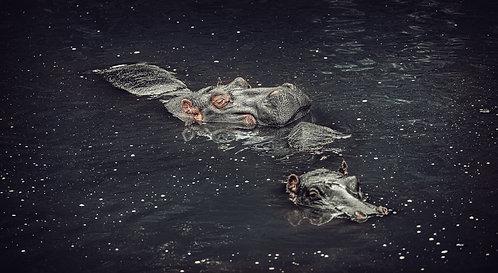 Deb Polay Hippos Tinted