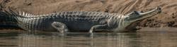 gharial-2.jpg