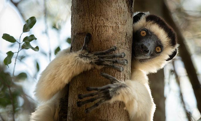 sifaka Madagascar-0627.jpg