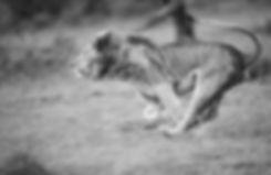 Trai Anfield Photographic Safaris lion c