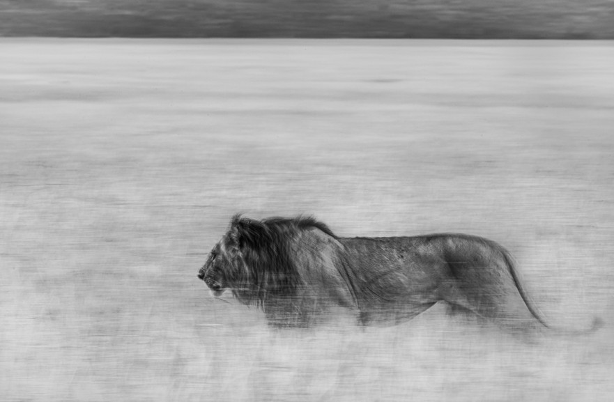 Trai Anfield male lion slow shutter b&w-