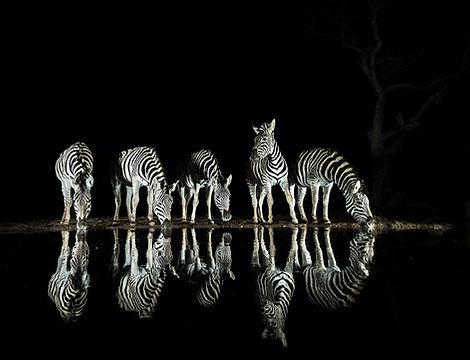 zebras drinking night edit_WEB.jpg