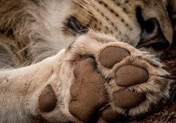 Zimanga 2016 lion paw edit-8664_WEB.jpg