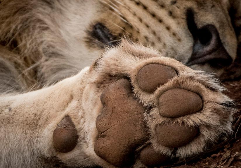 Trai Anfield lion paw-8664_WEB.jpg