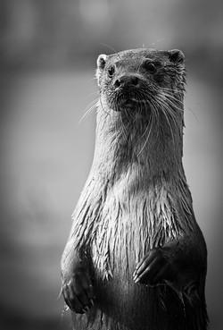 Trai Anfield Photography otter b&w_WEB-2