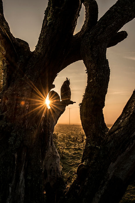 Raptors workshop image long eared owl