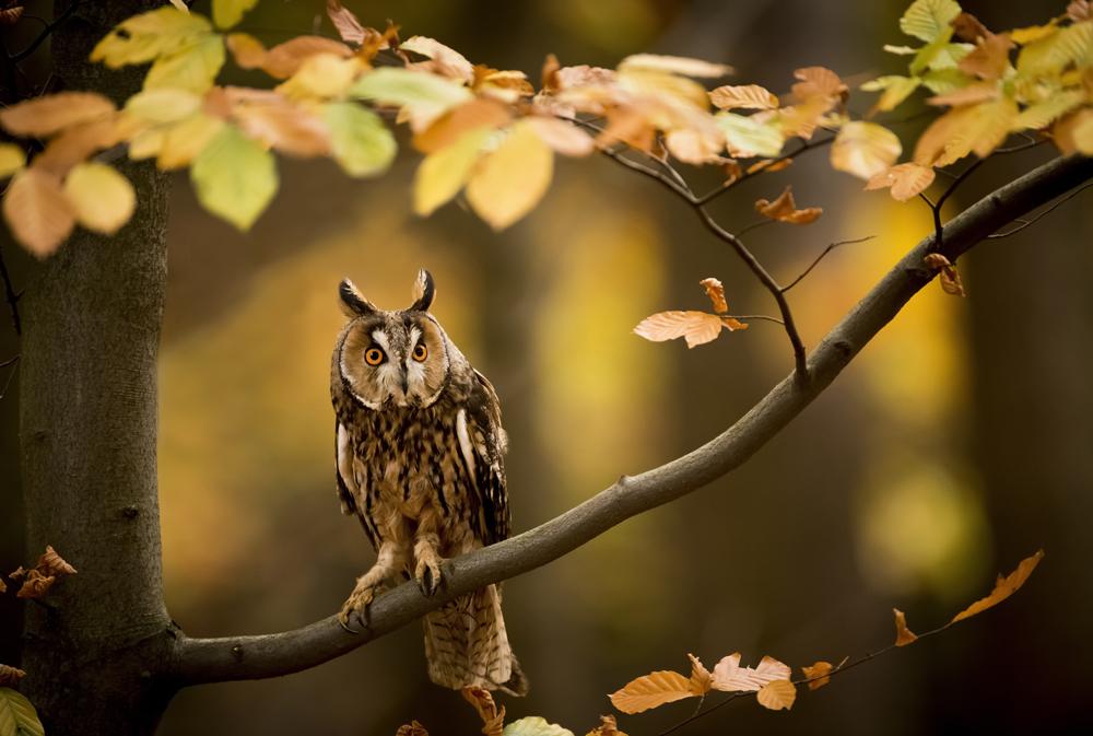 Tatra BoP long eared owl EDIT-6032 2.jpg