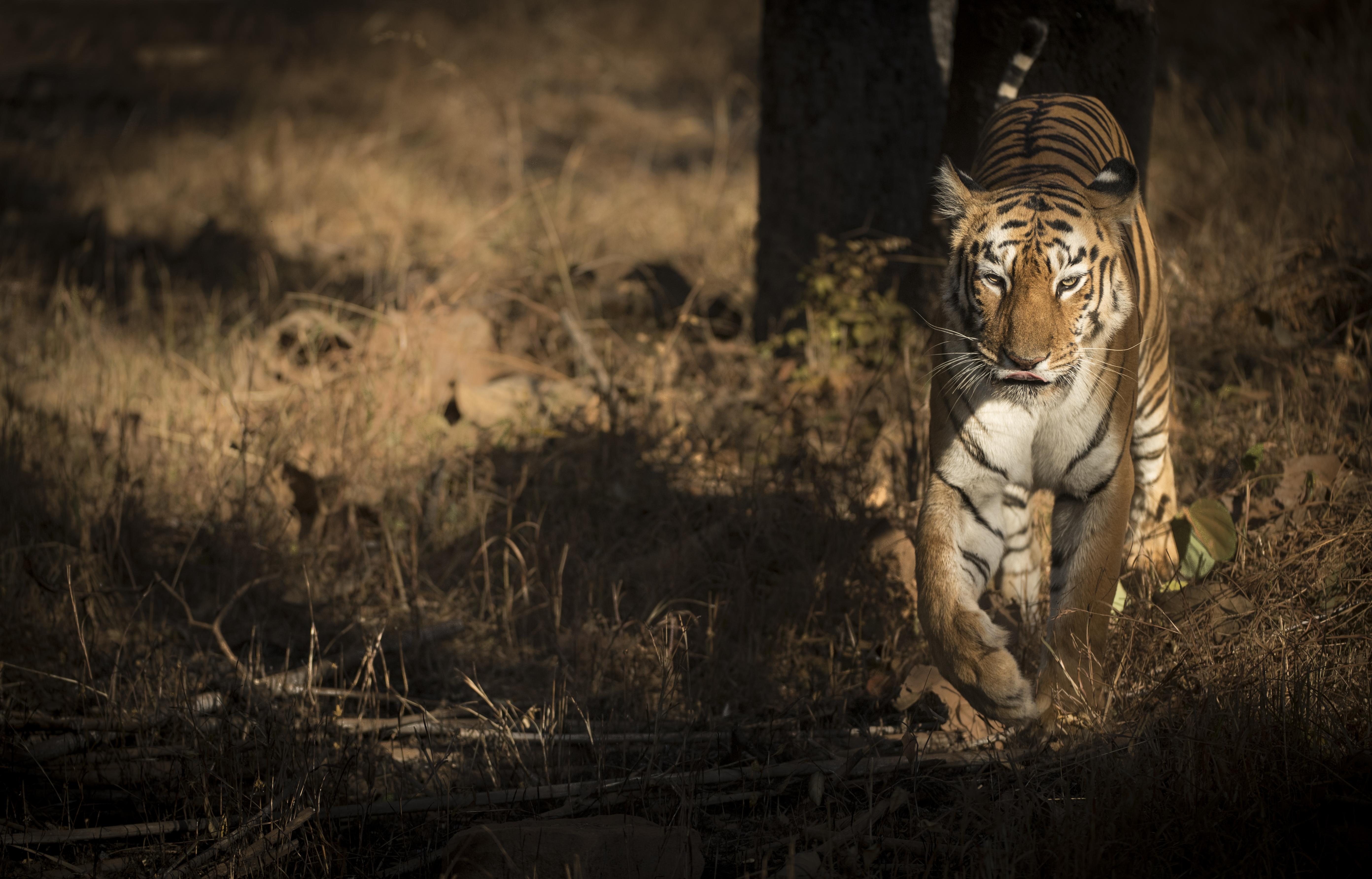 Tiger Maia Tadoba-9260.jpg