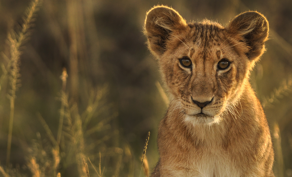 _DSC4203cropLion Maasai Mara.jpg