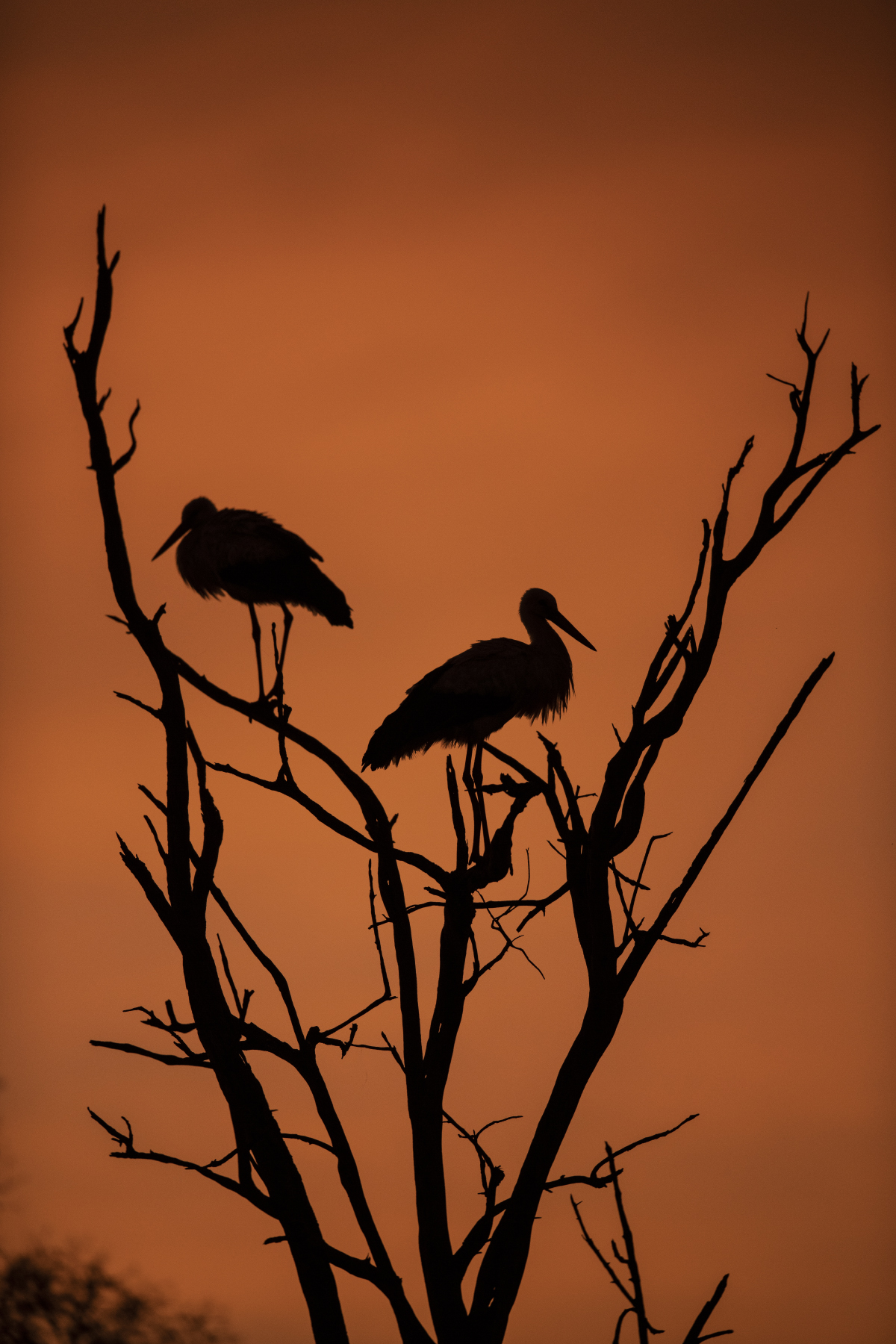 Trai Anfield storks in tree sunrise-7651