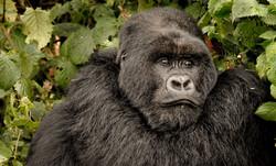 _DSC7096Mountain Gorilla, Rwanda, Volcanoes National Park.jpg