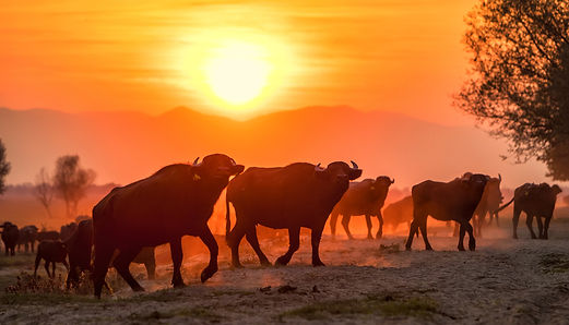 Greece buffalo early light_WEB.jpg